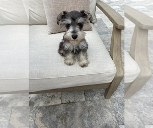 Schnauzer (Miniature) Dog for Adoption in MARYVILLE, Tennessee USA