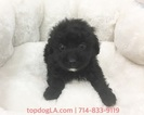 Poodle (Toy)-Yorkshire Terrier Mix Puppy For Sale in LA MIRADA, CA, USA