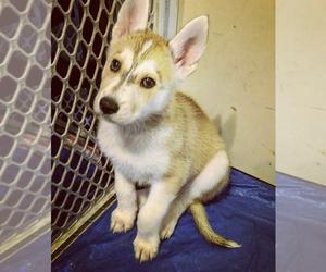 German Shepherd Dog-Sharberian Husky Mix Puppy for Sale in DOWNEY, California USA