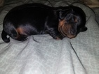 Dachshund Puppy For Sale in NORTH VERNON, IN, USA