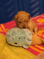 Poodle (Toy) Puppy For Sale in FALLSTON, MD, USA