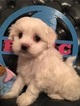 Maltese Puppy For Sale in RACCOON, KY, USA