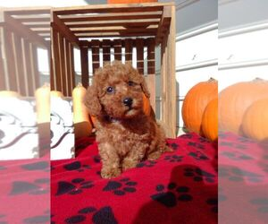Goldendoodle (Miniature) Puppy for sale in NARVON, PA, USA