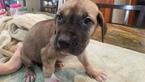 Great Dane Puppy For Sale in STRASBURG, Pennsylvania,
