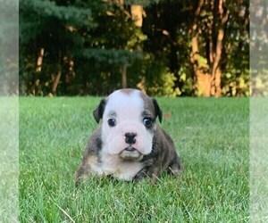 Medium English Bulldog