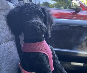 Poodle (Standard) Puppy for sale in OMAHA, NE, USA