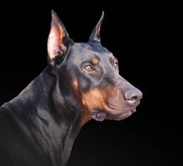 Doberman Pinscher-German Shepherd Dog Mix Puppy For Sale in PIEDMONT, AL, USA