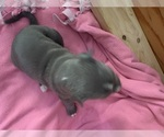 Puppy 12 American Pit Bull Terrier