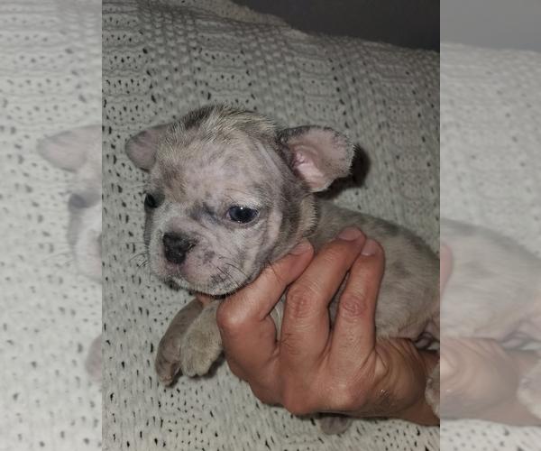 Medium Photo #7 French Bulldog Puppy For Sale in N LAS VEGAS, NV, USA
