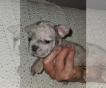 Small Photo #7 French Bulldog Puppy For Sale in N LAS VEGAS, NV, USA