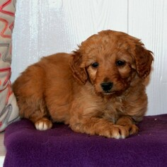 Goldendoodle-Poodle (Miniature) Mix Puppy for sale in KINZERS, PA, USA