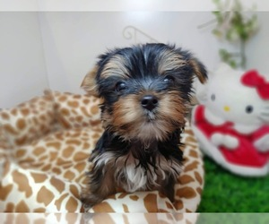 Yorkshire Terrier Puppy for sale in CHICAGO, IL, USA
