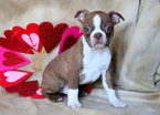 Boston Terrier Puppy For Sale in MOUNT JOY, PA, USA