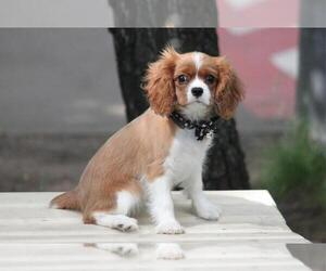 Cavalier King Charles Spaniel Puppy for sale in INTERCHANGE SQUARE, FL, USA