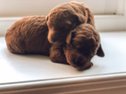 Goldendoodle Puppy For Sale in MIDLOTHIAN, VA, USA