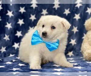 American Eskimo Dog Dog for Adoption in LANCASTER, Pennsylvania USA