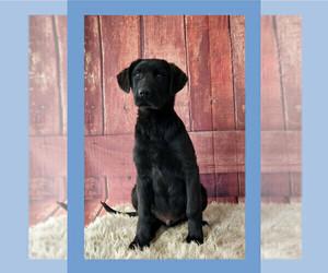 Labrador Retriever-Newfoundland Mix Puppy for sale in LIBERTY, KY, USA