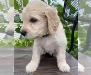 Double Doodle Dog for Adoption in GRAND FORKS, North Dakota USA