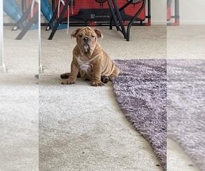 Bulldog Puppy for sale in ANAHEIM, CA, USA