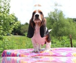 Small Photo #1 Basset Hound Puppy For Sale in UNION CITY, TN, USA