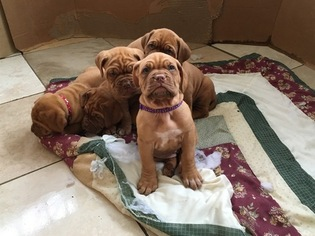 Dogue de Bordeaux Puppy For Sale in GATESVILLE, TX