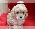 Cavapoo Puppy For Sale in MILLERSBURG, OH, USA