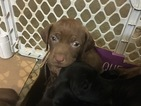 Vizsla-Weimaraner Mix Puppy For Sale in STANFORD, IL, USA