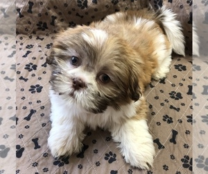 Shih Tzu Puppy for sale in JACKSONVILLE, AL, USA
