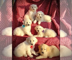 English Cream Golden Retriever Puppy for sale in RUSSIAVILLE, IN, USA