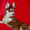 Siberian Husky Puppy For Sale in LARKSPUR, CA, USA