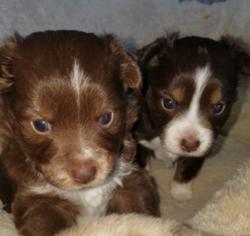 Miniature Australian Shepherd Puppy For Sale in MC LEAN, IL, USA