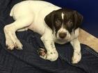 German Shorthaired Pointer Puppy For Sale in BROWNSTOWN, MI, USA