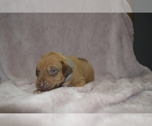Rhodesian Ridgeback Puppy for sale in POWDER SPGS, GA, USA