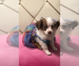 Chihuahua Puppy for sale in CENTERDALE, RI, USA
