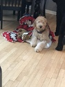 Goldendoodle Puppy For Sale in GR, MI, USA