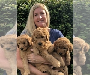 Goldendoodle Puppy for sale in LOS ALAMITOS, CA, USA