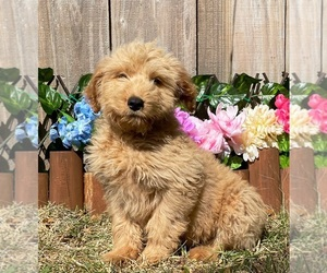 Goldendoodle Dog for Adoption in MIAMI, Florida USA