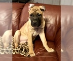 Cane Corso Puppy For Sale in BEECH GROVE, IN, USA