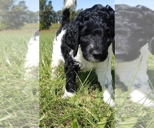 Labradoodle Puppy for sale in SPENCERVILLE, IN, USA