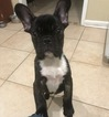 French Bulldog Puppy For Sale in NICEVILLE, FL, USA