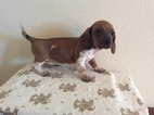Dachshund Puppy For Sale in BYERS, CO