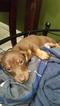Chiweenie Puppy For Sale in LAKELAND, FL