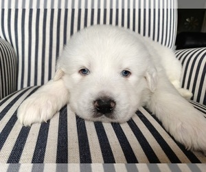 Great Pyrenees Puppy for Sale in CLEMMONS, North Carolina USA