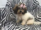 Zuchon Puppy For Sale in EPHRATA, PA, USA
