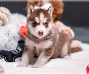 Siberian Husky Puppy for sale in BRISTOW, VA, USA