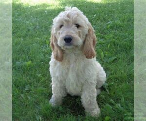 Goldendoodle-Poodle (Standard) Mix Dog for Adoption in THORP, Wisconsin USA