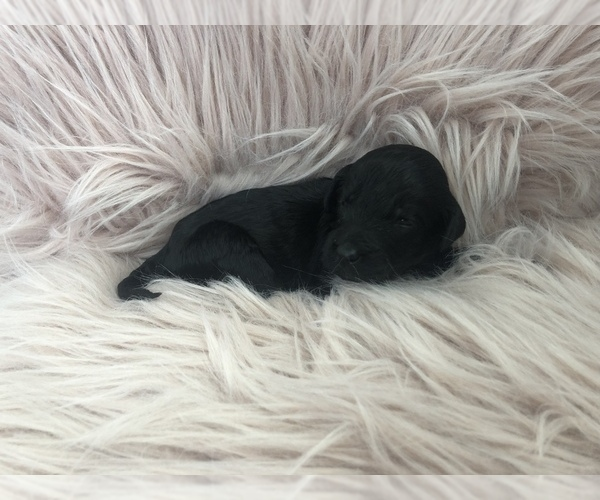 PuppyFinder com - View Ad: Photo #7 of Listing Labradoodle