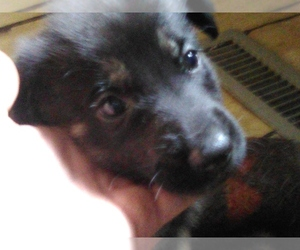 German Shepherd Dog Puppy for sale in EAST CHICAGO, IN, USA