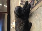 Puppy 1 Bouvier Des Flandres
