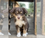 Australian Shepherd Puppy For Sale in GEORGETOWN, TX, USA